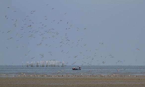 wader flock_Teluk Air Tawar_130113_IMG_3535