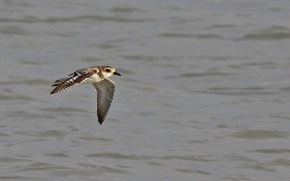 Greater Sand Plover_Tanjung Tokong_260913_IMG_4699
