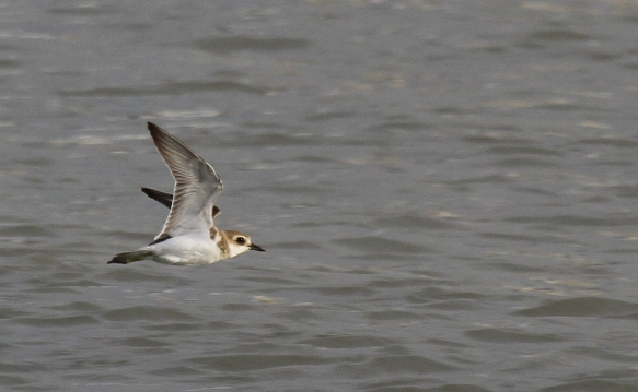 Greater Sand Plover_Tanjung Tokong_260913_IMG_4703