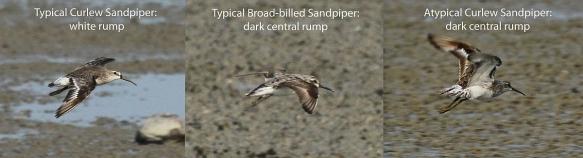 Odd Curlew Sandpiper_TAT_180914_IMG_7925
