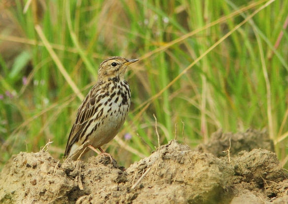 Red-throated Pipit_Chuping_090115_IMG_1262
